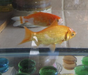 two goldfish
