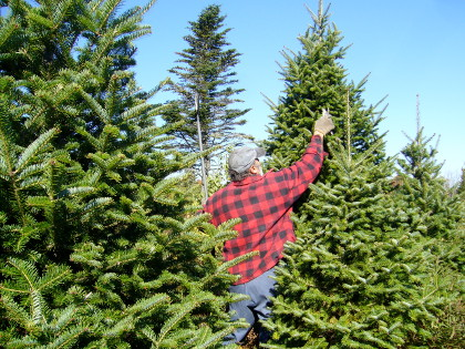 man in jeans and red flannel is pruning a growing evergreen or Christmas tree